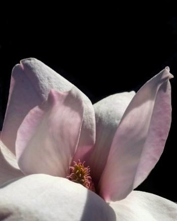 Magnolia Marilyn •
